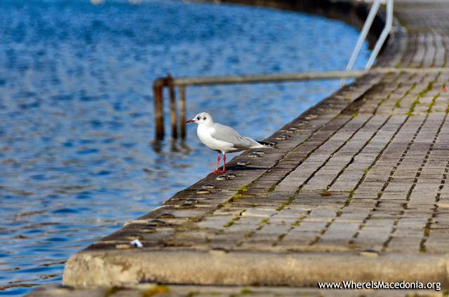 Gull - Ohrid Lake, Macedonia