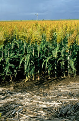 Sorghum is drought-resistant. Researchers have seen the relationship between microbes on the roots and how they all adapt to drought conditions.