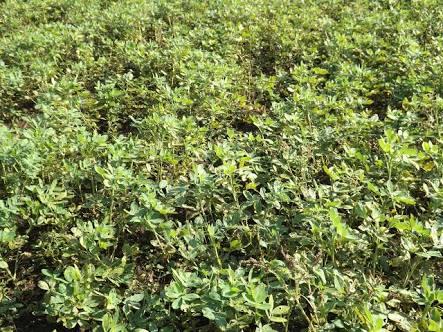 Kebun Kacang Tanah