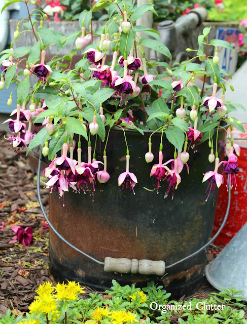 Fuchsias in a Rusty Coal Bucket www.organizedclutter.net