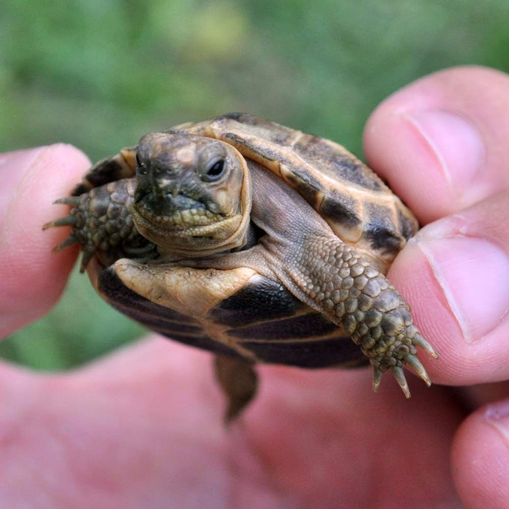 Rules of the Jungle: The Russian Tortoise