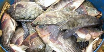 Umpan Ikan Nila