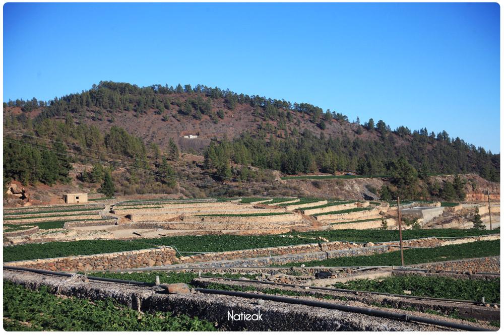 Champs de pomme de terre de la  Ville de Vilaflor de Chasna