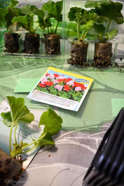 esikasvatettu pelargonin taimi