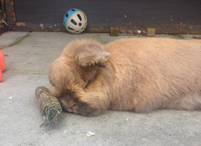cute sleepy brown bunny