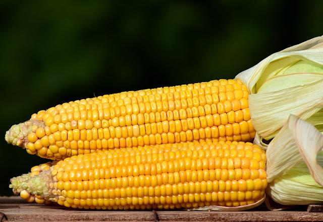 GMO kukurydza