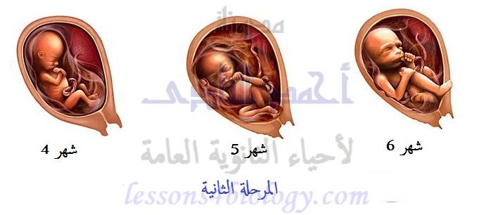 المرحلة الثانية من مراحل الحمل