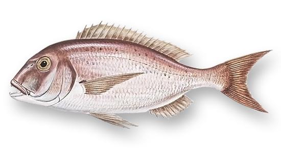 Sinarit balığının yandan görünüşü