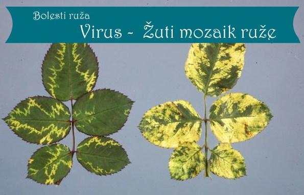 Virus zuti mozaik, bolesti ruza