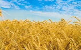 Zakat Pertanian Menurut Madzhab Empat (1)