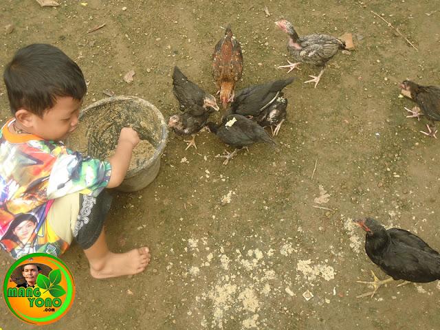 "Tiap pagi dan sore ""Gigin"" kasih makan ayam kampung piaraannya"