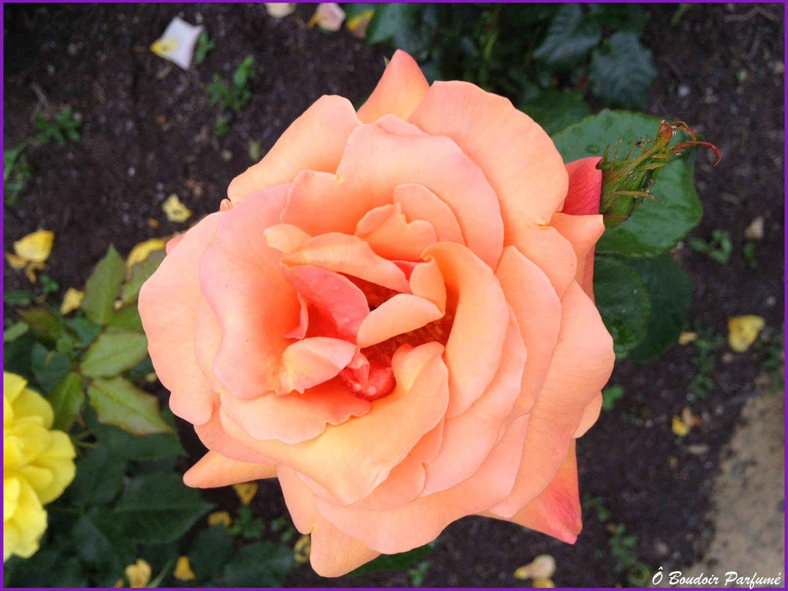 O Boudoir Parfume Beaute Fragile Ephemere