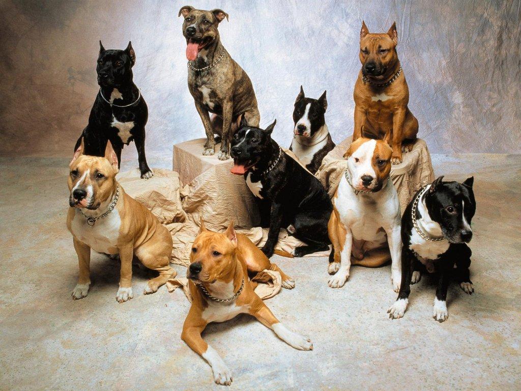 American Pitbull Dogs Wallpapers & Pics 2013