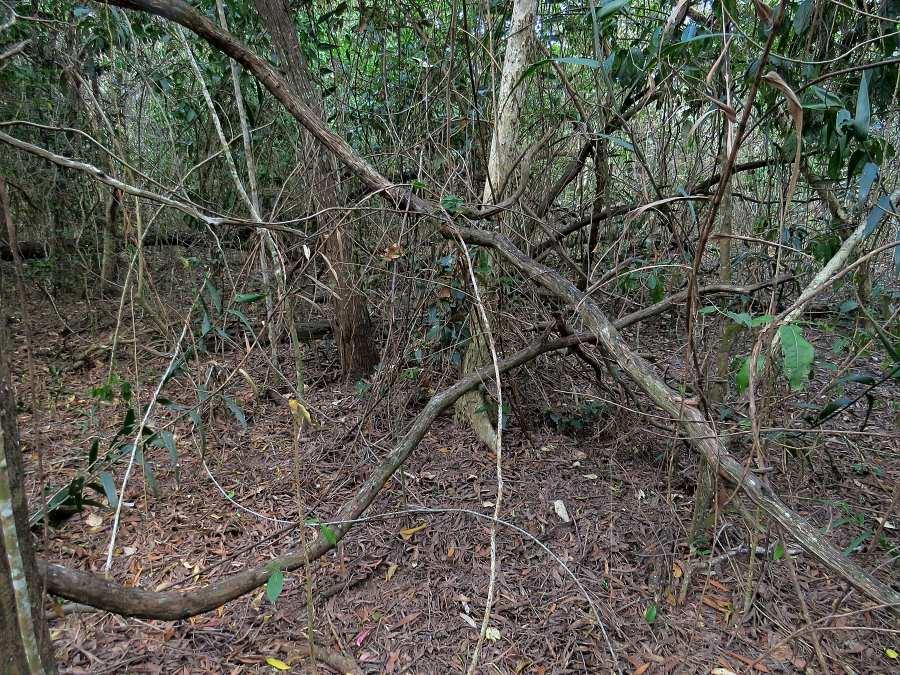 Saline littoral rainforest