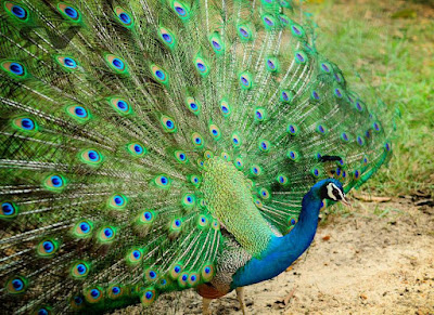 Peacock - Animals Beginning With Letter P