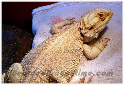 Bearded dragon fatty liver disease