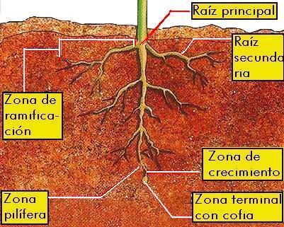 Dibujo de la raiz indicando partes