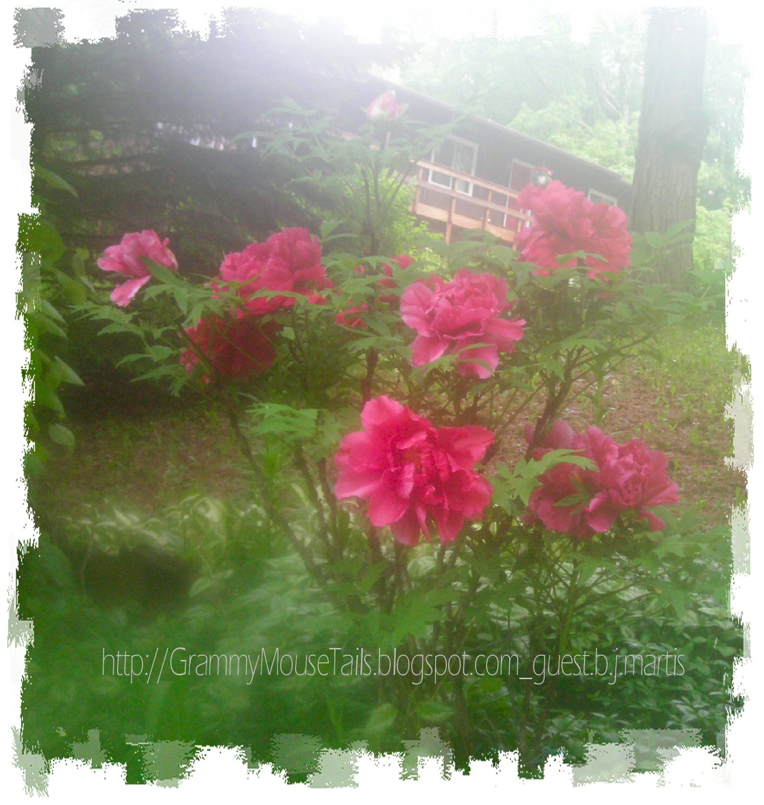 pink peony tree early evening mist photo image