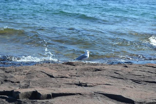 Gull, Grand Marais, MN