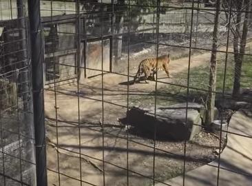 Μπήκε μέσα στο κλουβί με τις τίγρης για να πιάσει το καπέλο της