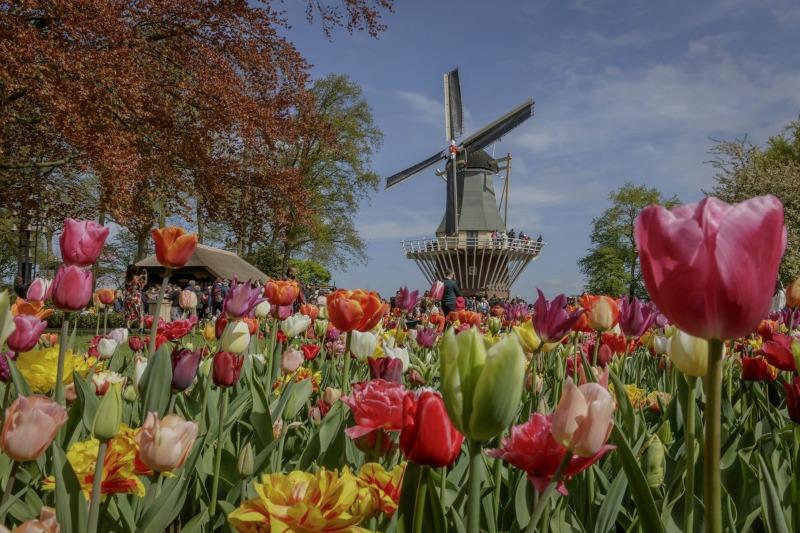 Tulipanes y molino en Keukenhof