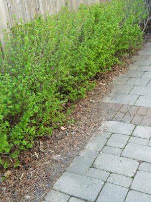Toronto Roncesvalles spring garden cleanup before by Paul Jung Gardening Services