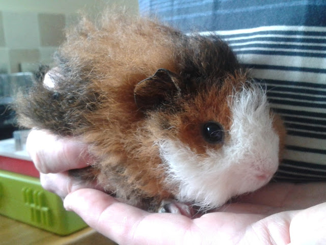 Daisy our new baby guinea pig