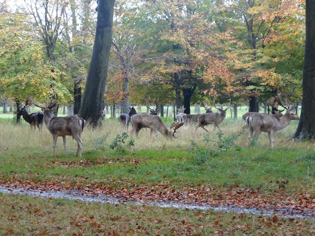 A herd of deer in Phoenix Park!