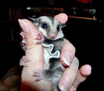 "Animal World Blog: Mengenal Sugar Glider ""SG"""