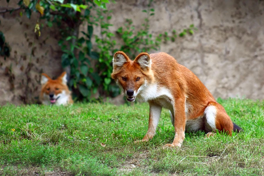 Animals You May Not Have Known Existed - The Dhole