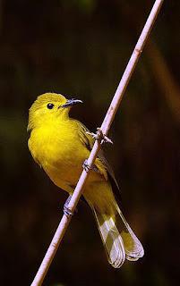 Yellow browed bulbul  Meriyanda, Coorg