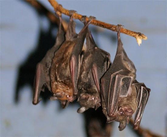 Morcegos dormindo