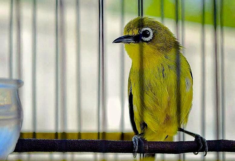 Mp3 Suara Masteran Untuk Burung Pleci