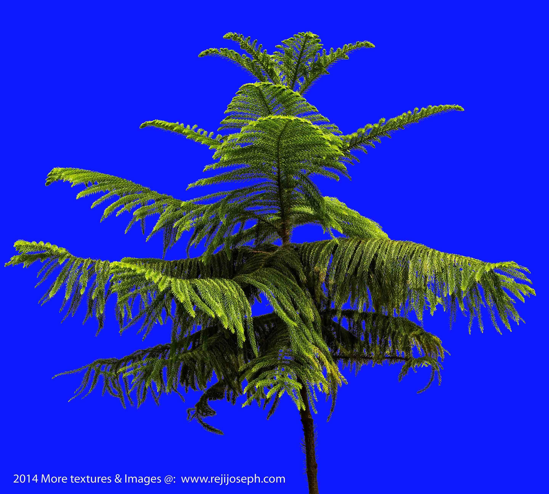 Cook Pine Garden Plant Texture 00001
