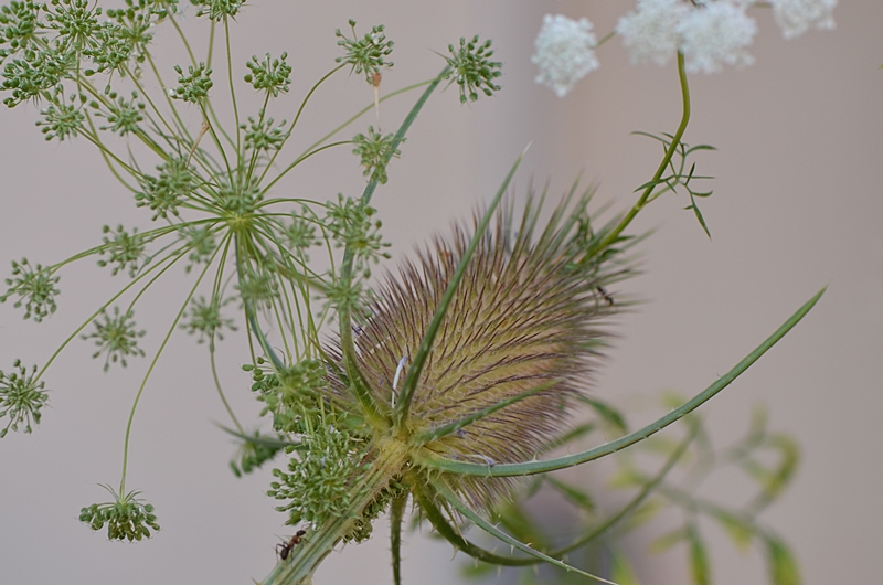 nature fleur cardere jardin poesie reve ombelle