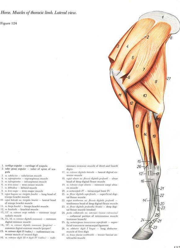 anatomia-membros-pélvicos-horse-equino-popesko-livros-pdf-veterinaria-clique-download-descargar-libros-gratuito