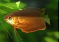 Gourami Thicklip, jenis jenis ikan hias gourami