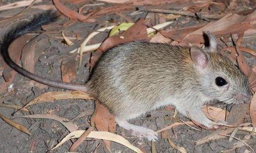 Primer mamífero que se extingue por el cambio climático