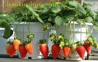 Tiket Masuk dan Harga Paket Sweetberry Agrowisata Cipanas Cianjur