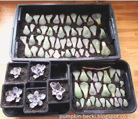 Echeveria succulent plants propagated several ways