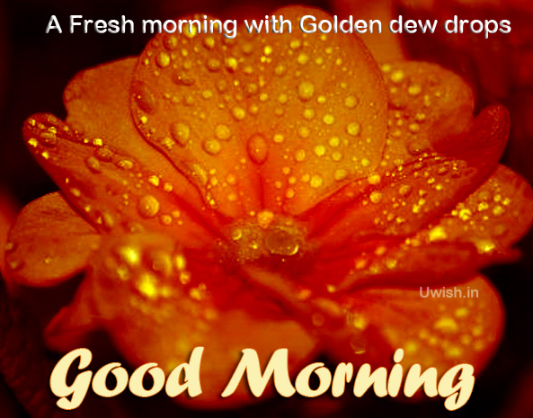 A Fresh Morning with the dew drops shining as gold in the rose petals