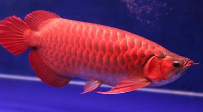 Kisaran Harga Ikan Arwana Super Red Berbagai Ukuran