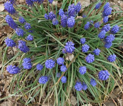 grape hyacinth, Muscari