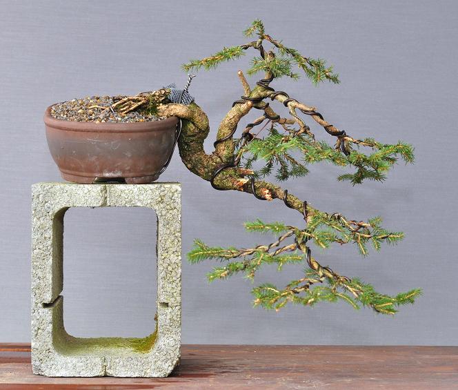 Bonsai Und Beistellpflanzen Fichten Erstgestaltung