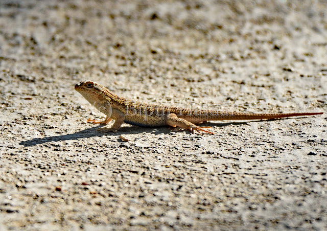 Lizard on street