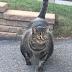 (Video) Kucing Berbadan 'Sado' Ini Kejutkan Internet, Viral