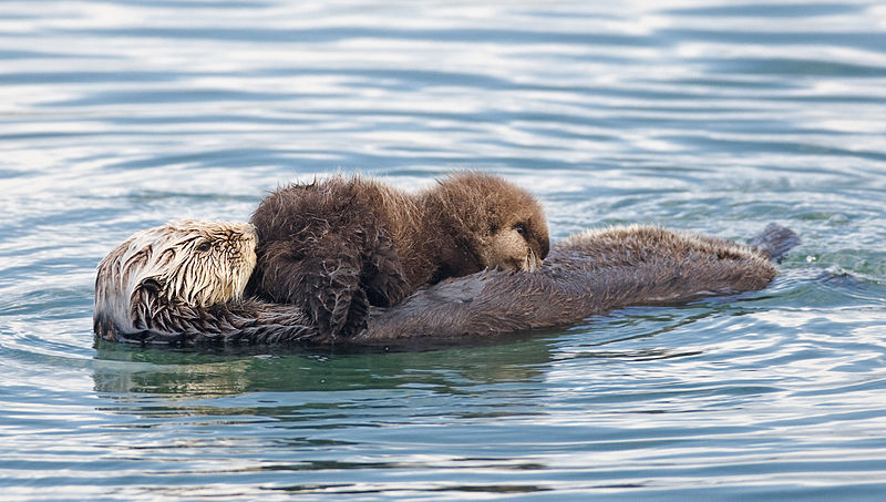 Mammals Animals: Sea otter nursing