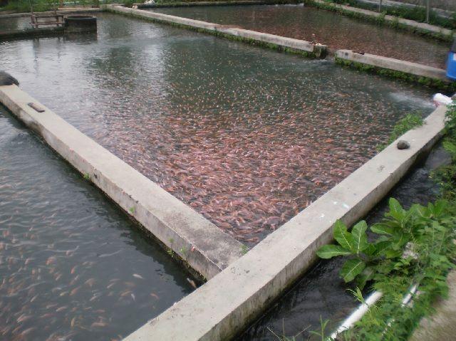 Analisis Usaha Budidaya Ikan Nila