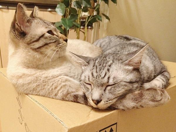 シャムトラ猫の腕にあごを乗せて寝ているサバトラ猫