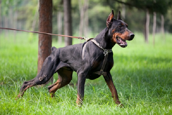 Most Dangerous doberman pinchers Dogs